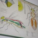 Planche med dyreanatomi